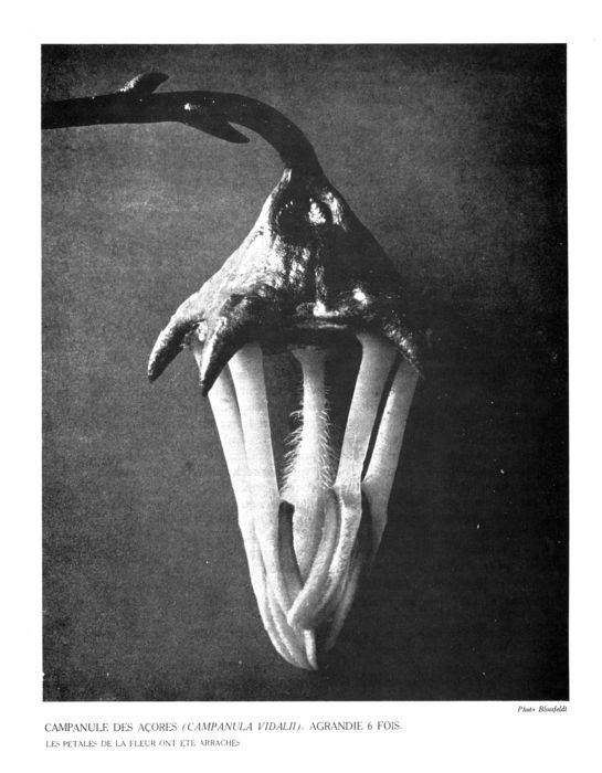 Documents-Karl Blossfeldt-Campanula Vidali enlarged 6 times from Bataille's article The Language of Flowers